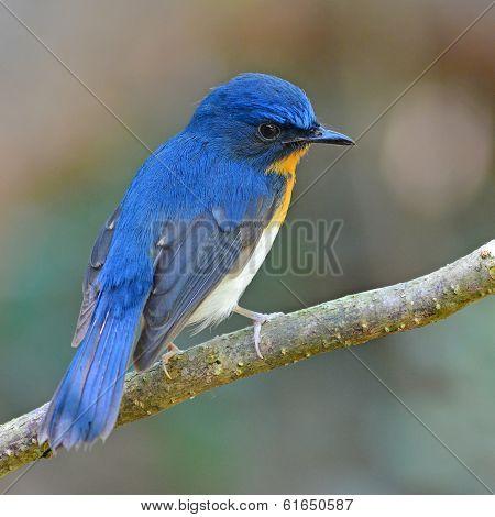 Tickell's Blue-flycatcher Bird