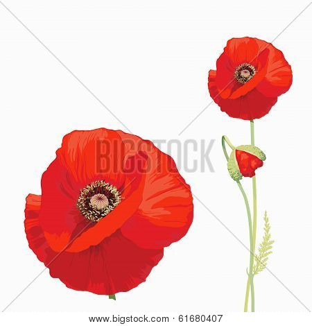 Red poppy (Papaver rhoeas)