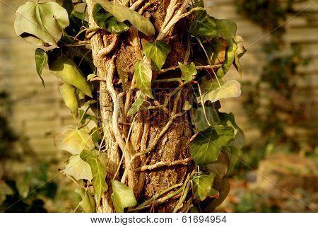 Efeu On Dead Tree