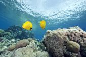 coral and masked butterflyfish taken in the red sea. poster