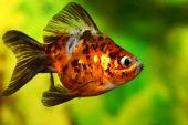 beautiful goldfish floats in aquarium against green seaweed. poster