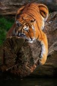 Siberian tiger lying stretched on a fallen tree above the water poster