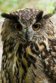 Female eagle owl sitting and looking - vertical image poster
