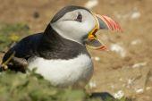 Atlantic Puffin closeup with colourfull beak open - Fratercula arctica poster