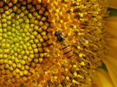The orange hoverfly in the centre of the sunflower. poster