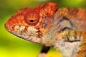 panther chameleon basking in the Madagascan sun poster