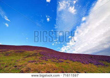 Colorful Hill Slope Covered By Violet Heather Flowers.