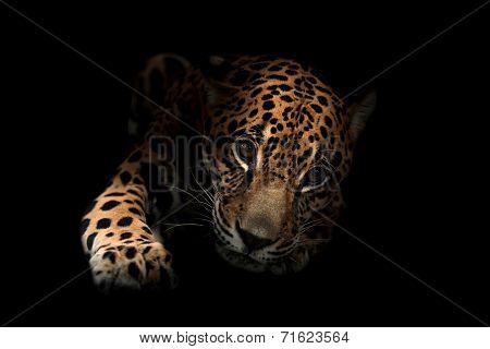 Jaguar ( Panthera Onca )in The Dark