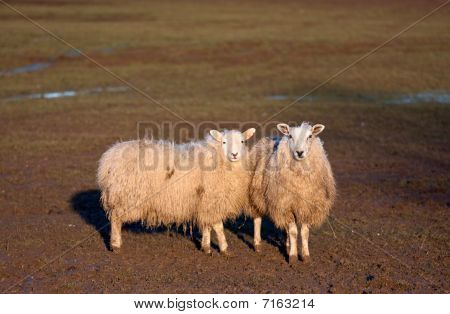 Two sheep standing together in a field