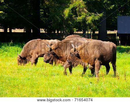 European Wood Bison Herd