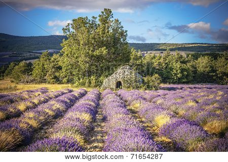 Lavender Field And Tree In Provence