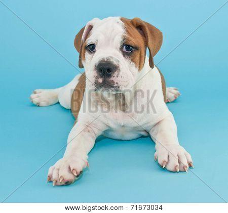 Silly Bulldog Puppy