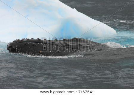 Humpback Whale And Iceberg