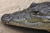 Closeup shot of beautiful alligator head with teeth poster