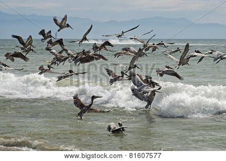 Pelicans Taking Flight