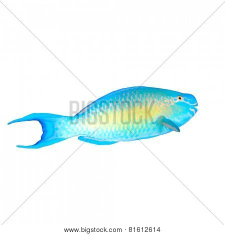 Tropical fish isolated: Parrotfish