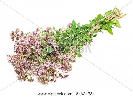 Oregano or Marjoram Herb Blooming (origanum majorana )