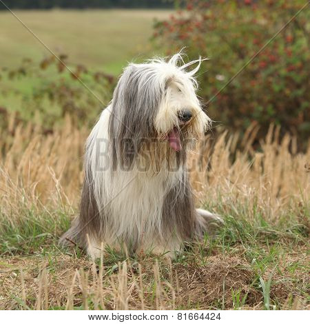 Amazing Bearded Collie Sitting