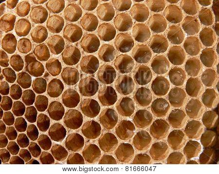 Honey bee Larva in comb
