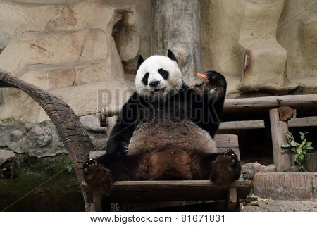 Panda Bear Eating Carrot