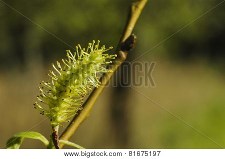 Pussy-willow (Salix) branch
