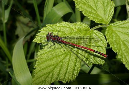 Large Red Damselfly (Pyrrhosoma nymphula) on a leaf poster