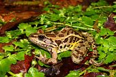A Pickerel Frog (Rana palustris) sits on the forest floor at Monte Sano State Park - Alabama. poster