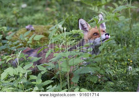 a hungry european red fox seeing something good poster