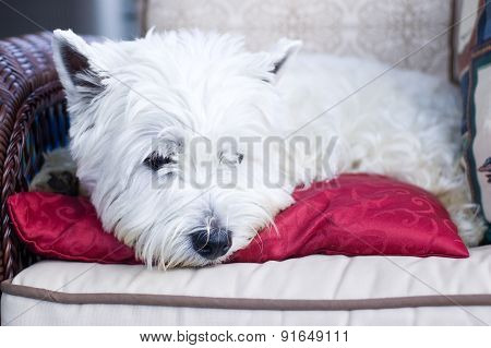 White terrier lying on a red cushion in a chair