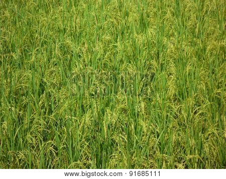 Young rice plants background