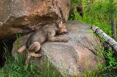 Grey Wolf Pup (Canis lupus) Clambers up Rock - captive animal poster