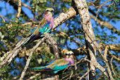 lilac breasted roller pair sitting in a tree poster