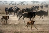 The herd of migrating antelopes goes on dusty savanna. poster