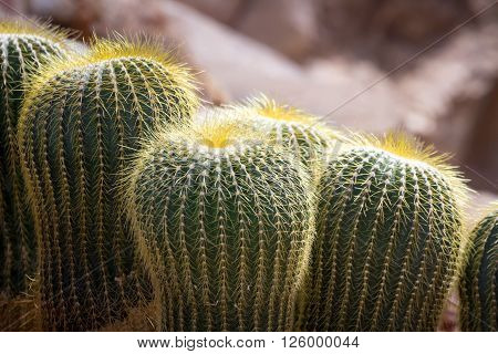 cactaceae and a lot of spike in nature