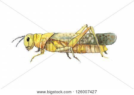 Grasshopper sketch. Hand drwan watercolor sketch of grasshopper. Big yellow grasshopper.