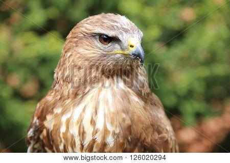 Eurasian buzzard also known as the common buzzard