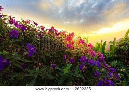 Purple princess flower Glory flower Tibouchina Urvilleana. Hawaii Maui in sunset