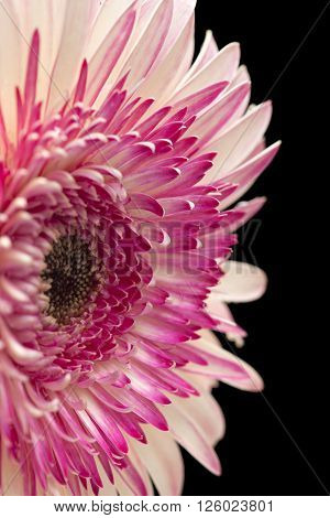 white and magenta gerbera flower isolated on black background poster