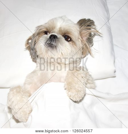 dog is lying on a pillow in bed under the covers