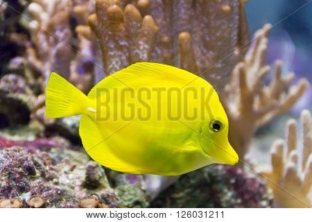Photo of fish yellow zebrasoma in aquarium ** Note: Visible grain at 100%, best at smaller sizes