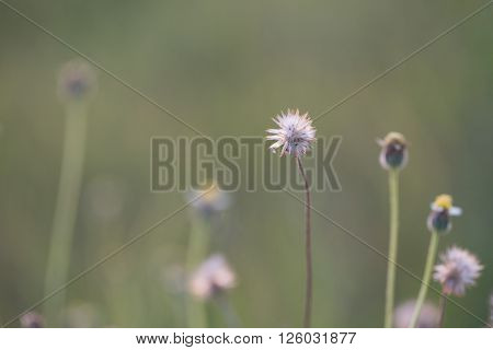 Coat buttons Mexican daisy or Tridax daisy grass flower