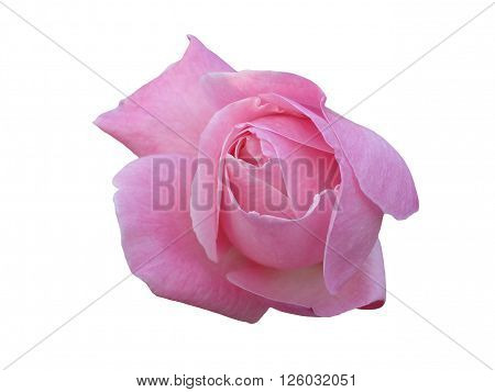 One pink rosebud flower on white backgroung.