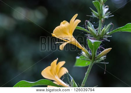 Yellow Barleria Prionitis Flowers On Blurry Bokeh Background