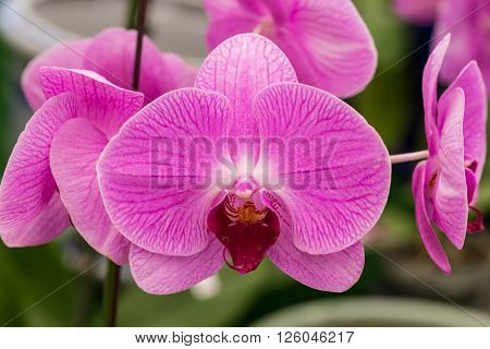 Closeup of Pink orchid in the garden