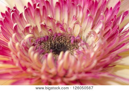 white and magenta gerbera natural floral background poster