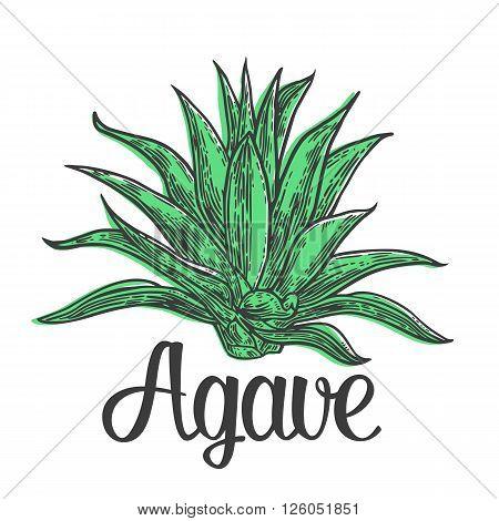 Cactus blue agave. Vintage vector engraving illustration for label poster web.