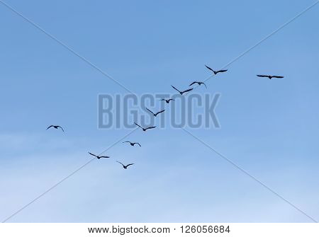 Formation of flying waterbirds, blue sky behind poster