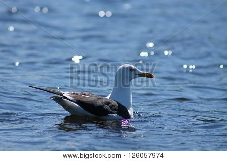 The Lesser Black-backed Gulls swim on a lake. This Lesser Black-backed Gull is swimming happily on a lake