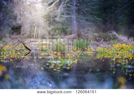 swamp in forest with sun highlight and marsh marigold flowers