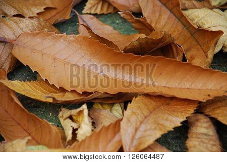 Fallen brown leaves in the Autumn on the ground in Kent, England.
